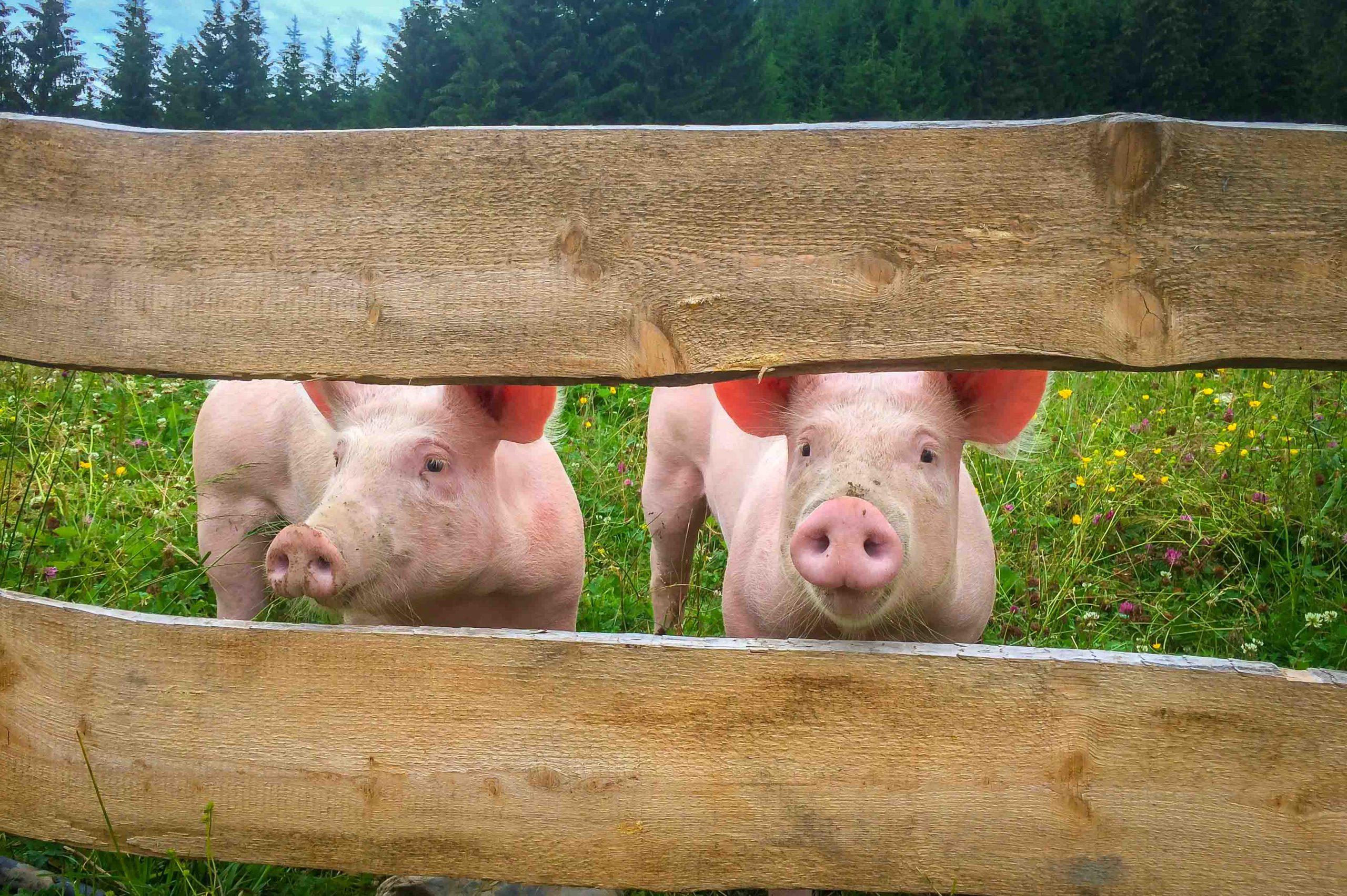 """Unseren """"Glücksschweinen"""" gefällts bei uns saugut! Kein Wunder, Freilandauslauf mit Bergblick sprechen für sich."""